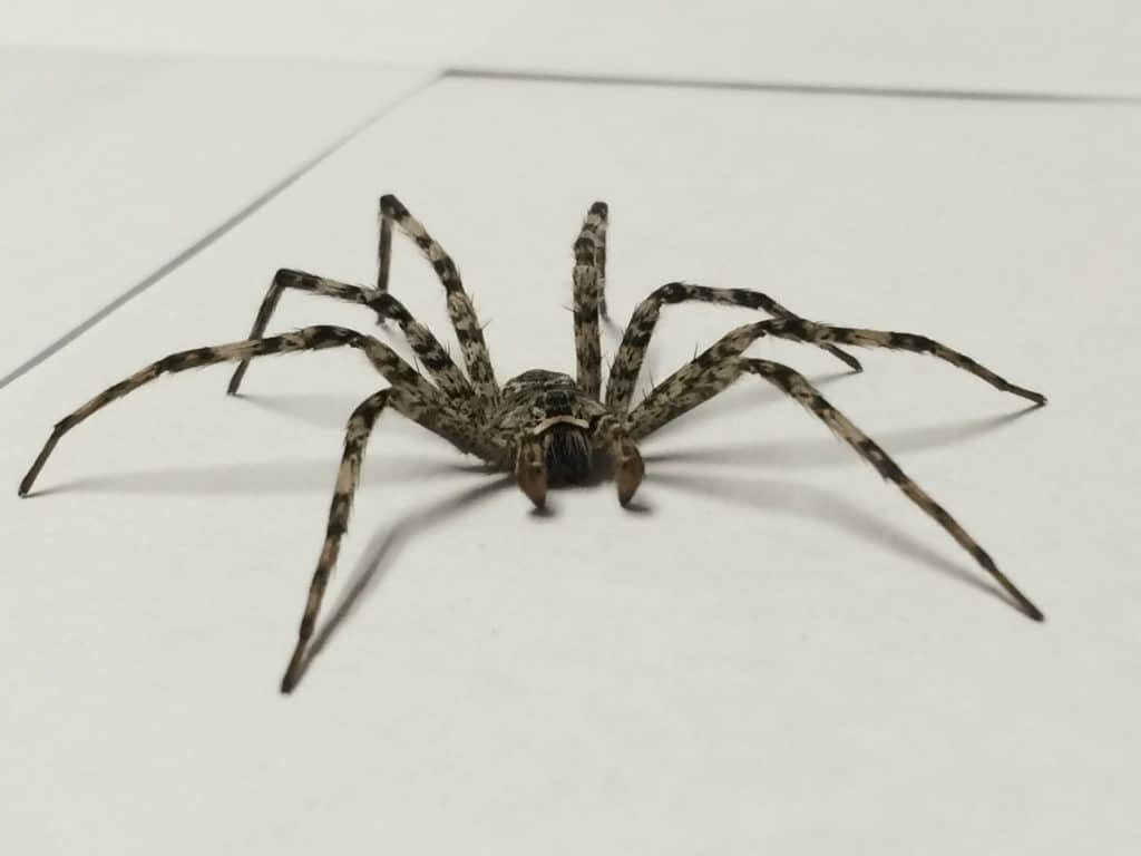 This big hairy spider is often confused with a tarantula, but unless you're  at a pet store, chances are it is actually a Wolf Spider.