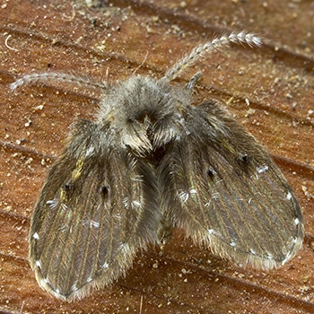 moth fly or drain fly mr bugg 39 s pest patrol. Black Bedroom Furniture Sets. Home Design Ideas
